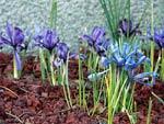 Iris reticulata olika sorter