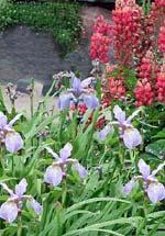 Iris sibirica 'My Love' tillsammans med Lupinus hybridus 'My Castle'.