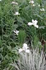 Strandiris Iris sibirica 'Snow Queen'