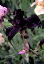 Iris germanica 'Interpol'
