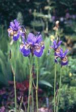 Iris sibirica 'Papillon'
