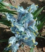 Iris 'Sind-pers'