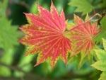 Acer japonicum 'Aureum' i höstfärg