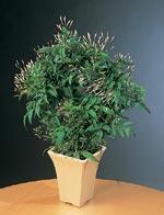 Vippjasmin, Jasminum polyanthum