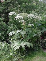 Jätteloka, Heracleum mantegazzianum