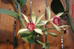 Kryddan vanilj kommer från en så här vacker orkidée!