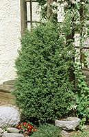 Juniperus communis 'Suecica'. Träd-en