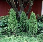 Juniperus communis 'Vemboö' E. Smal pelar-en
