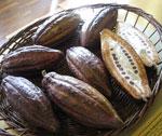 Färska kakaofrukter från Colombia