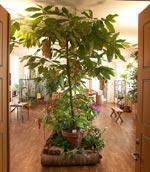 Välkommen in. Kakaoträd i förgrunden