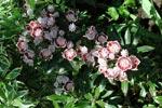 Kalmia latifolia 'Minuett'