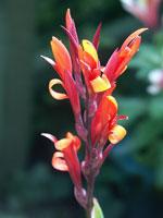 Kanna, blomma
