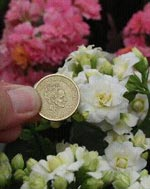 Kalanchoë blossfeldiana