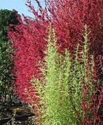 Kochia scoparia ssp. scoparia, sommarcypress