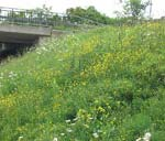 Många kommunala parkförvaltningar låter numera vissa marker bli blomsterängar.