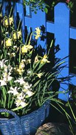 Som en liten inspiration visas här ett blått staket hemma hos mig med en lika blå korg. Korgen innehåller vita och vitgula narcisser, som senare på sommaren överplanteras med Lobelia 'Richartonii, Tagetes 'Vanilla', Nicotiana 'Havana Lime Green', och gulbladigt penningblad och rabatteternell hängande från kanten.