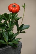 Kranspeperomia, Peperomia pereskiifolia