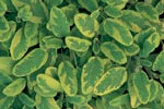 Kryddsalvia, Salvia officinalis 'Icterina'