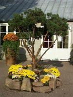Krysantemer med bonsaiklippt tall