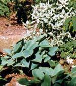 Hosta 'Halcyon' och Artemisia ludoviciana m fl