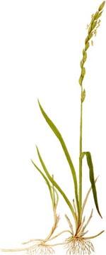 Kvikrot (Agropyron repens)