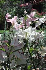 Lilium speciosum 'Roseum'