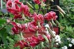 Lilium speciosum 'Rubrum'