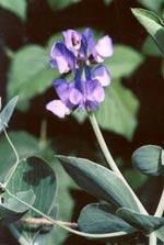Lathyrus nervosus ' Lord Anson's Pea'