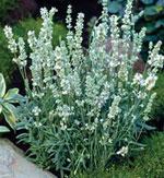 Vitblommande lavendel, Lavandula angustifolia 'Ellagance Ice'