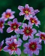 Leucocoryne purpurea 'Andes'