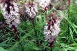 Liastris spicata 'Alba'