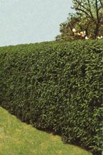 Till en klippt häck kan man bland annat använda; Buxbom, Avenbok, Haggtorn, Liguster, Oxel, Gran eller Tuja.