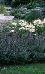Lilium 'Alaska' (flock) och Nepeta faassenii