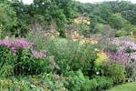 Lilium regale 'Golden Splendour' och Aconitum napellus 'Sparles Variety'