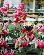 Lilium speciosum 'Rubrum' med amiralfjäril
