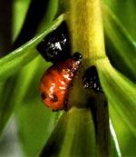 Liljebaggens larv