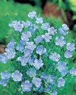 Blåblommigt ettårigt lin, 'Blue Dress'