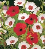 Blomsterlin, Linum grandiflorum 'Magic Circles'