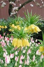 Plantera allium, narcisser och fritillaria ihop med tulpanerna för att lura rådjur och sorkar.