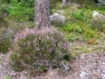 En sådan här stor ljungplanta går inte att flytta.