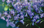 Lobelia erinus Blue Star