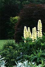 Lupin 'Chandelier' mot en rödbladig japansk lönn. Den gråbladiga växten är Artemisia ludoviciana 'Silver Queen'.