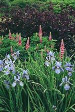 Lupinus 'Rose Pink' och blå iris