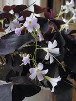 Lyckoklöver (Oxalis articulata)