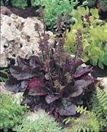 Lyrsalvia 'Purple Vulcano'