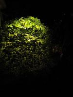Lysande buske