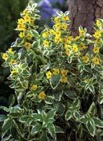 Lysimachia punktata 'Alexander's Variety'