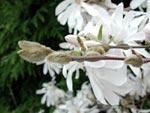 Magnolia stellata, 'Royal Star'