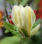 Magnolia Elisabeth L