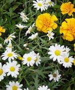 Margerit, Argyranthemum
